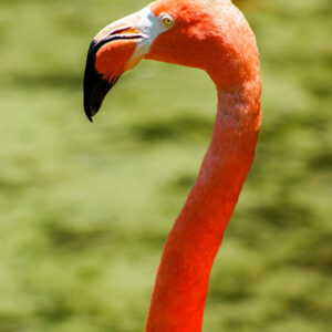 A flamingo wades in the water at the Brevard Zoo on a warm summer day.